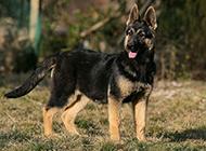 昆明犬幼犬帅气身姿图片