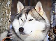 乖巧听话的巨型雪橇犬图片