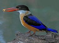 蓝翡翠鸟图片微距特写