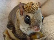 小鼯鼠棕足亚种图片欣赏