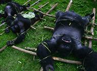 大猩猩被屠的残忍场面