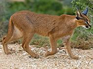 棕色狞猫步伐自信优雅图片