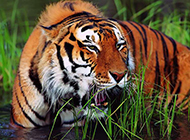 凶猛野生老虎高清动物图片