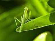 大自然中的猎手螳螂高清桌面壁纸
