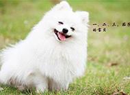 白色小博美犬可爱呆萌图片
