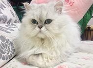 慵懒气的金吉拉猫图片