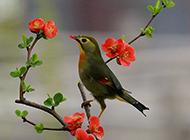 红嘴相思鸟春天公园特写图片