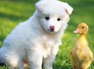 小萨摩耶犬模样聪明可爱图片