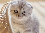 乖巧可爱的折耳猫图片大全