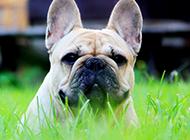 丑萌可爱的法国斗牛犬写真图片