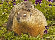 可爱土拨鼠母子情深图片