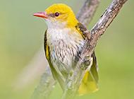 小巧玲珑的细嘴黄鹂鸟图片