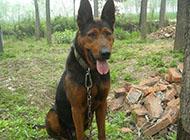 山西悍将莱州红犬威武图片