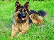 草地悠然歇息的德国狼犬图片
