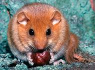 贪吃的睡鼠图片