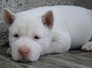 小型下司犬无辜呆萌可爱图片