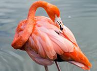 羽色鲜丽的火烈鸟高清图片