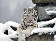 精选凶猛白虎高清图片