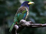 雄啄木鸟捕虫本领超强图片