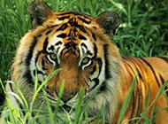 凶猛的森林之王老虎高清图片