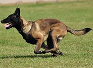 黑色比利时马犬疾走如飞图片