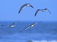 翱翔的海鸥浪漫大海壁纸图片大全