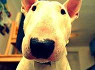 个性活跃的牛头梗犬高清图片