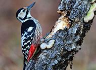 雄啄木鸟捕捉昆虫图片
