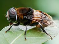 小蜜蜂采蜜高清图片