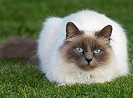 高冷霸气的纯种暹罗猫图片