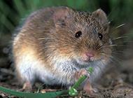 加洛特田鼠吃嫩叶图片