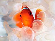 斑斓可爱的红小丑鱼图片