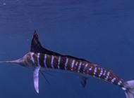南方淡水旗鱼游泳敏捷迅速图片
