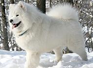 可爱漂亮的纯种萨摩耶犬图片