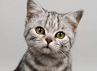 英国短毛虎斑猫头部特写图片