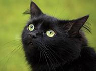 孟买猫可爱迷人图片