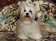 漂亮乖巧的拉萨犬图片