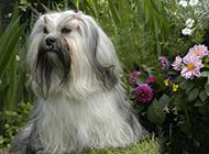 优雅高贵的拉萨犬图片