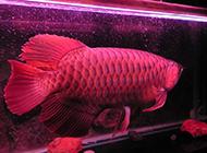 最贵的风水鱼红龙鱼图片