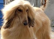 阿富汗猎犬高贵图片大全
