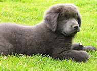 宠物狗纽芬兰犬安静听话图片