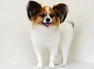 成年蝴蝶犬狗狗调皮图片