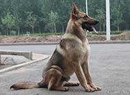 云南昆明犬帅气坐姿图片