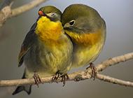 银耳相思鸟树枝甜蜜亲热图片