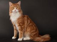 优雅神气的缅因猫图片