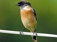 小巧玲珑的西伯利亚石即鸟类唯美壁纸