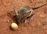 长耳跳鼠觅食图片