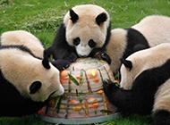 动物搞笑瞬间之熊猫家的盛宴