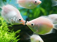人工养殖接吻鱼唯美图片