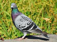 精壮矫健的亮灰色信鸽图片